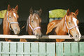 Purebred mares in the barn beautiful thoroughbred horses at door nice thoroughbred foals stable door Stock Image