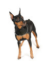 Purebred miniature pinscher isolated white background Stock Photography