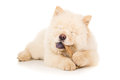Purebred puppy with a bone isolated Stock Image