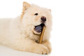 Purebred, puppy chow chow eats bone Royalty Free Stock Photo