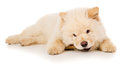 Purebred, puppy eating a bone Royalty Free Stock Photo