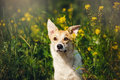 Purebred red and white dog in flowers happy Stock Photography