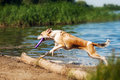 Purebred red and white dog resting srunning on the beach Stock Photos