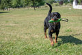 Purebred Rottweiler dog outdoors in the nature on grass meadow o