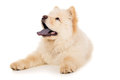 Purebred white chow chow puppy puppy isolated Stock Images
