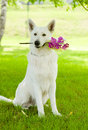 Purebred White Swiss Shepherd with a flower in its mouth Royalty Free Stock Photo