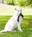 Purebred white swiss shepherd with a leash in his mouth Stock Images