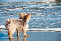 Purebred Yorkshire Terrier Dog at the Beach Royalty Free Stock Photo