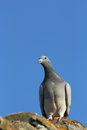 Purebreed pigeon Stock Photo
