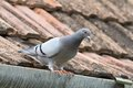 Purebreed pigeon on roof beautiful standing of the house Stock Photography