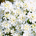 Purity Candytuft. White Tiny Flowers Background Royalty Free Stock Photo