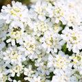 Purity candytuft white tiny flowers background Stock Image