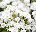 Purity candytuft white tiny flowers background Stock Photos
