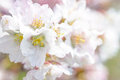 Purity macro view of a sakura cherry flower after the small spring rain against the background of a bunch of other cherry flowers Stock Photography