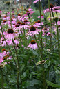 Purpere Coneflower, purpurea Echinacea Royalty-vrije Stock Fotografie