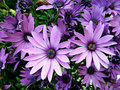 Purple african moon daisy s several Royalty Free Stock Images