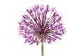 Purple alium onion Royalty Free Stock Images
