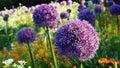 Purple alium onion flower on green background. Royalty Free Stock Photo