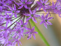 Purple allium Royalty Free Stock Photography