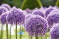 Purple Allium 3 Royalty Free Stock Photos