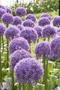 Purple Allium 4 Royalty Free Stock Photos