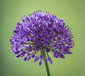 Purple allium flower detail on a green background Stock Photos
