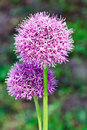 Purple allium onion blooming flower heads Royalty Free Stock Photo