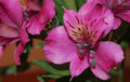 Purple alstroemeria flower close up with green blur background Royalty Free Stock Images