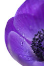 Purple anemone close up Stock Photography