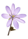 Purple anemone flower with leaves on an white background Royalty Free Stock Image