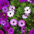 Purple aster daisy flowers Royalty Free Stock Photography