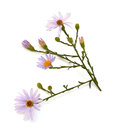 Purple aster family on a white background Royalty Free Stock Photography