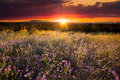 Purple Asters at Sunset Royalty Free Stock Photo