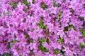 Purple Azalea Royalty Free Stock Photo