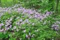 Purple Azalea Bloom Royalty Free Stock Photo