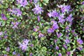 Purple Azalea blossom in springtime. full frame Royalty Free Stock Photo
