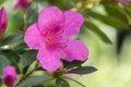Purple azalea blossoms closeup Royalty Free Stock Photo