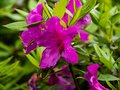 Purple azalea flowers in bloom 1 Royalty Free Stock Photo
