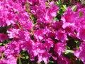 Purple Azalea Flowers in Full Bloom in Mid April Royalty Free Stock Photo