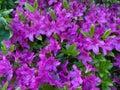 Purple Azalea Flowers and Green Leaves Royalty Free Stock Photo