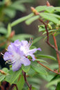 Purple azalea on green Royalty Free Stock Photo