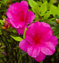 Purple azaleas in the garden plant with red blooming flower so beautiful spring Stock Images