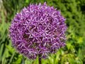 Purple ball leek Allium aflatunense Royalty Free Stock Photo