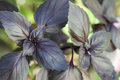 Purple basil bush Royalty Free Stock Photo