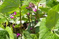Purple bean plants growing in the garden Royalty Free Stock Photo