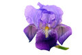 Purple bearded iris flower isolated over white background single bloom beautiful colour delicate veined petals closeup Stock Images