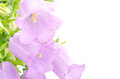 Purple bell flower Royalty Free Stock Images