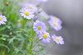Purple Bellis perennis or daisy flower Royalty Free Stock Photo