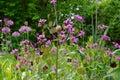 Purple biennial Lunaria annua / honesty Royalty Free Stock Photo