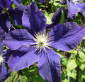 Purple blue clematis flower closeup on in bloom against a garden background Stock Image